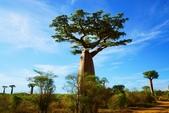 108 馬達加斯加 穆隆達瓦:2 馬 猴麵包樹 DSC04711.JPG
