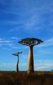 108 馬達加斯加 穆隆達瓦:2 馬 猴麵包樹 DSC04728.JPG