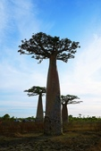 108 馬達加斯加 穆隆達瓦:2 馬 猴麵包樹 DSC04721.JPG